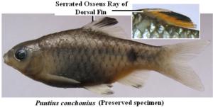 Puntius conchonius (Preserved specimen)