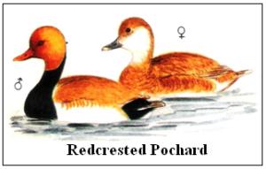 Redcrested Pochard