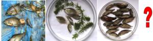 Trichogaster / Colisa / Badis