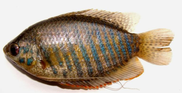 Colisa fasciatus (Female): Oval Body