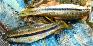 Rasbora daniconius: Freshly caught specimens with their enchanting colours and hues.