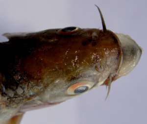 Barilius vagra, head enlarged (side top view), showing longer rostral barbel and shorter maxillary.