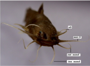catfish (Front view)