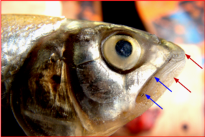Barilius telio: Head of male enlarged, showing 2 pairs of barbels and tuberculations on the snout and lower jaw.
