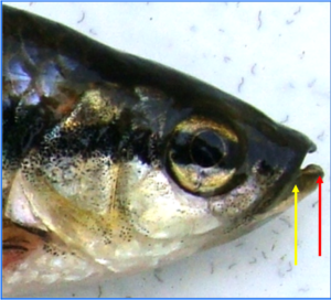 Rasbora daniconius: Head enlarged, showing undulating opening of mouth; the cleft being oblique; lower jaw having one central and two lateral prominences fitting into corresponding emarginations of the upper jaw.