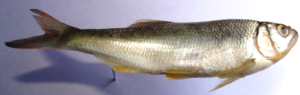Barilius tileo: Mark silvery body with yellowish fins, tinged orange-red. Oblong spots on the flank shaded by silvery hue.