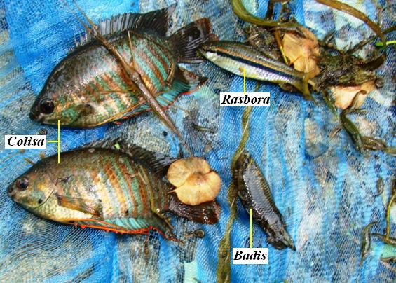 A collection from Suswa [Eastern Doon] at Basanti Mata Mandir (Raiwala) showing trapped specimens of Colisa, Badis, Rasbora and other aquatic biota (Ranatra, Palaemon sp. etc.)