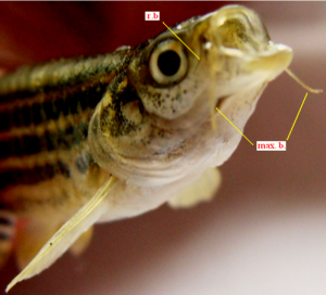 Danio rerio (Head enlarged, latero-frontal view): 2 pairs of barbels, the rostrals (r.b.) being shorter but the maxillary ones (max. b.) extending beyond eye orbit. Shallow cleft of mouth, directed obliquely upwards.