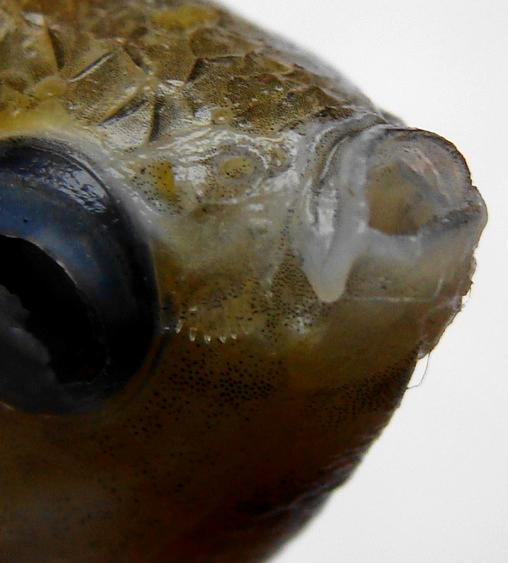 Colisa labiosus (Female): Thin lips