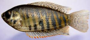 Colisa labiosus (Female): Oblong (ellipsoidal) Body